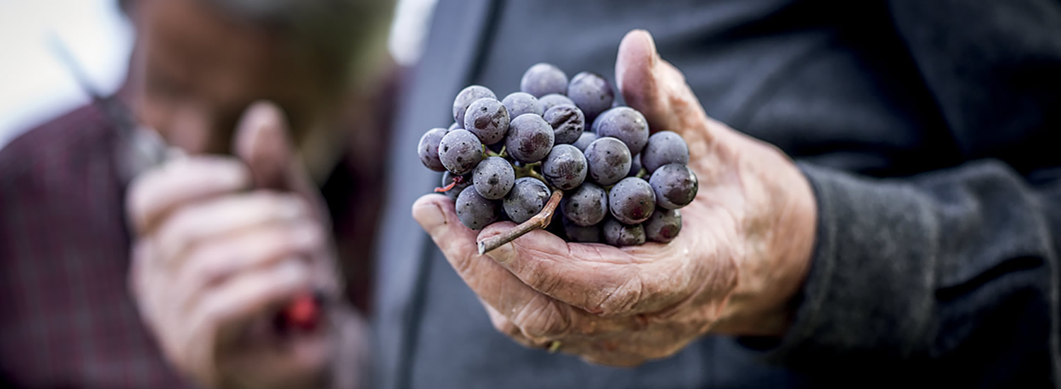 """Manual harvesting and the perfect unhurried ripening of the grapes""."